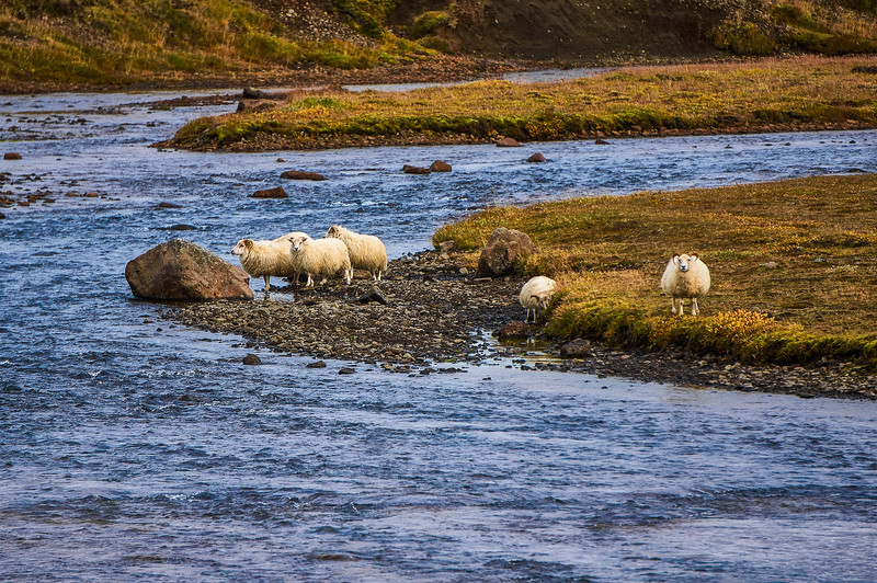 Sheep crossing the river near Glymur in Iceland