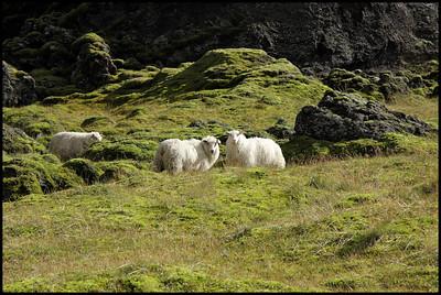 Laki sheep