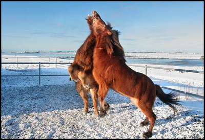 Horses near Hafnarfjordur