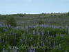 Field of Nootka Lupine - Introduced for soil fertilization