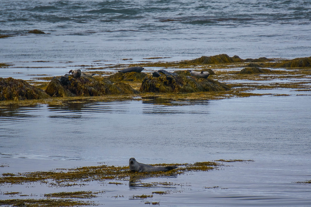 Seal watching at Ytri Tunga Beach in Iceland