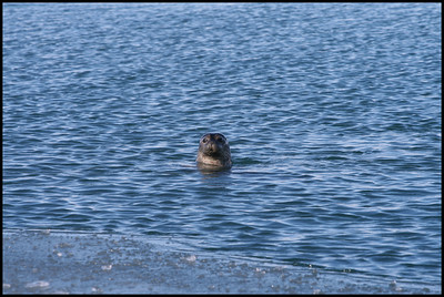 Seal at Jökulsárlón