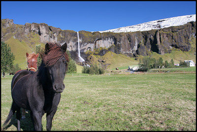 Icelandic horse on farm