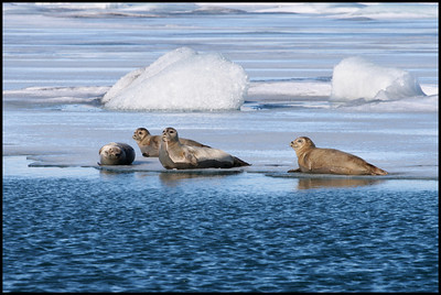Seals at Jökulsárlón