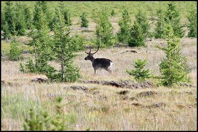 Reindeer near Lagarfljot