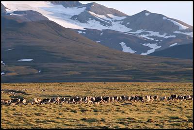 Reindeers on the Kárahnjúkar route