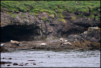 Grey seals near Papey