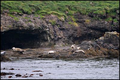 Grey seals near Papey