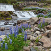 Lupine At The Falls