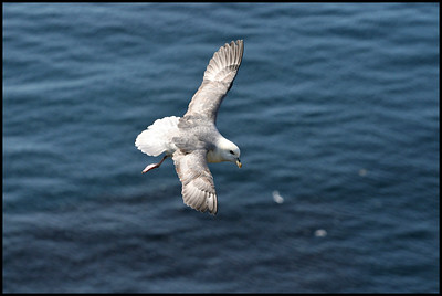 Fulmar in flight, Látrabjarg