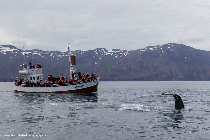 Humpback Whale, Húsavík, Iceland.