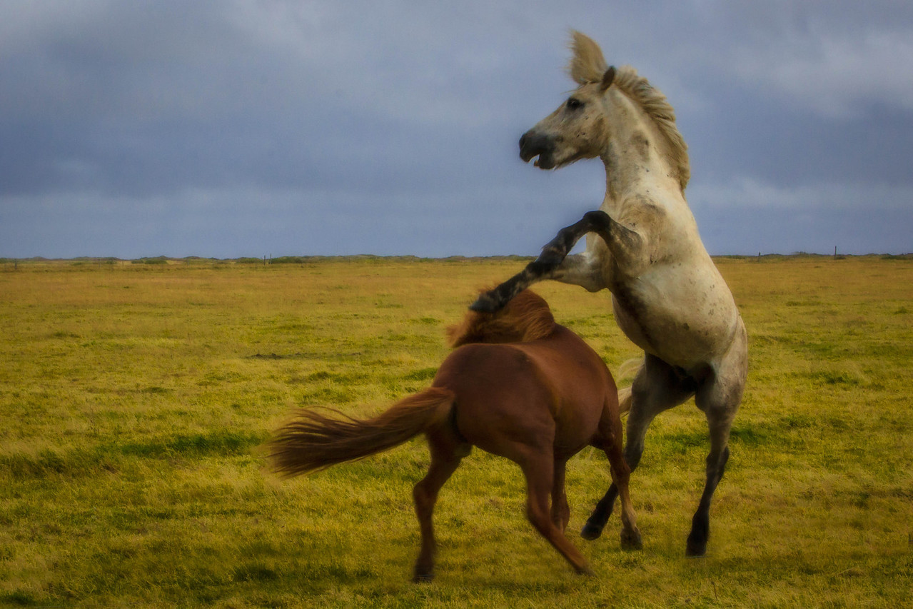 The horses are really wild in Iceland
