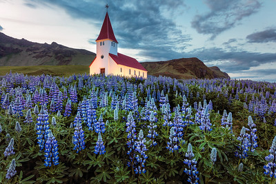 Lupines at the Church