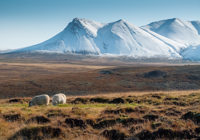 Sheep and Snowy Mountain