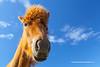 Icelandic Horse, Akranes, Iceland.
