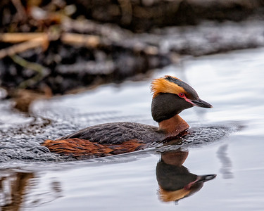 The beautiful horned (or slavonian) Grebe