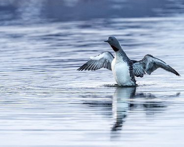 The red throated loon is a special bird common in Iceland, but rare elsewhere.