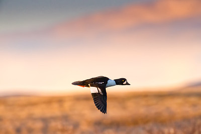 Barrow's Goldeneye flying past in the sunset near lake Myvatn