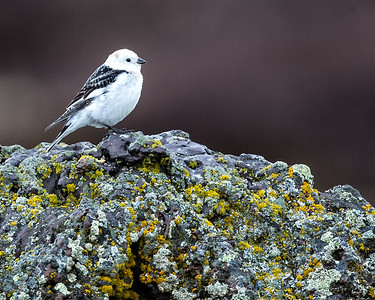 Snow buntings were common.