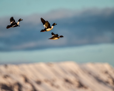 A trio in flight passing over the still snow covered mountains