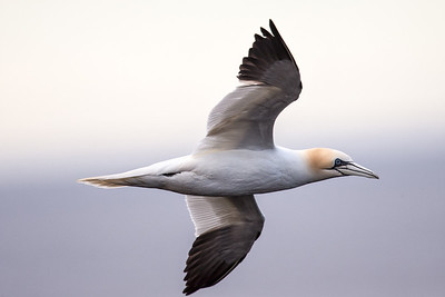 Gannets are large sea birds which nest on the rocky offshore islands and are frequently seen fishing along the coast of Iceland.