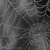 Dauwdruppels; 2015; Spinweb; Rosée; Toile d'araignée; Gouttes de rosée; Dew; Spider's web; Dewdroplets; Tau; Tautropfen; Morgentau auf einem Spinnennet