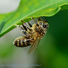 Bij; 2015; Abeille; Bee; Apoidea; Biene