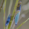 Groene rietcicade; Cicadella viridis; Green Leafhopper; Cicadelle verte; Binsenschmuckzikade