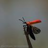 Zwartkopvuurkever; Pyrochroa coccinea; Pyrochre écarlate; Cardinal beetle; Scharlachroter Feuerkäfer