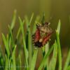 Bessenwants; Dolycoris baccarum; Sloe Bug; Punaise des baies; Beerenwanze