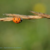 Lieveheersbeestj; 2015; Zevenstippelig lieveheersbeest; Coccinella septempunctata; Sevenspot ladybird; Sevenspotted ladybug; SiebenpunktMarienkäfer; La Coccinelle à sept points
