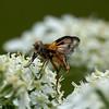 Ectophasia crassipennis Ectophasia crassipennis Sluipvlieg