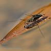 Schaatsenrijder; Gerris lacustris; Common pond skater; Gemeine Wasserläufer
