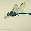 Anax imperator; Grote keizerlibel; Emperor dragonfly; Blue emperor; Anax empereur; Große Königslibelle