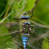 Grote keizerlibel; Anax imperator; Emperor dragonfly; Blue emperor; Große Königslibelle; Anax empereur