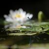 Azuurwaterjuffer; Coenagrion puella; HufeisenAzurjungfer; Azure damselfly; Agrion jouvencelle