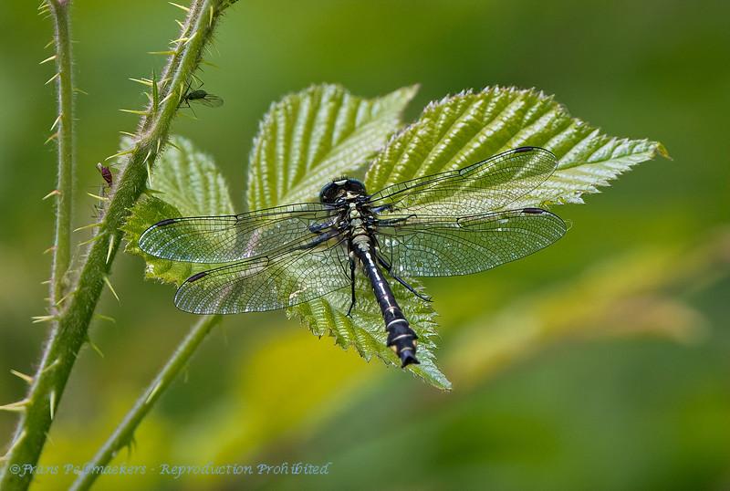 Beekrombout Gomphus vulgatissimus Common clubtail Gomphe vulgaire Gemeine Keiljungfer