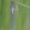 Blauwe breedscheenjuffer; Platycnemis pennipes; Whitelegged damselfly; Blue featherleg; Blaue Federlibelle; Pennipatte bleuâtre; Agrion à larges pattes