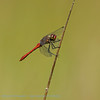 Bloedrode heidelibel; Sympetrum sanguineum; Ruddy darter; Sympétrum rouge sang; Blutrote Heidelibelle
