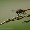 Bloedrode heidelibel; Sympetrum sanguineum; Ruddy darter; Sympétrum rouge sang; Sympétrum sanguin; Blutrote Heidelibelle