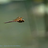 Bruine glazenmaker Aeshna grandis Brown hawker Grande æschne Braune Mosaikjungfer