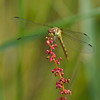Bruinrode heidelibel; Sympetrum striolatum; Sympétrum strié; Große Heidelibelle; Common darter