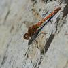 Bruinrode heidelibel; Sympetrum striolatum; Große Heidelibelle; Common darter; Sympétrum strié