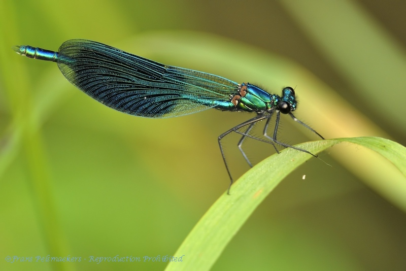Calopteryx splendens Weidebeekjuffer Caloptéryx éclatant Gebänderte Prachtlibelle Banded Demoiselle