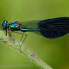 Calopteryx splendens; Weidebeekjuffer; Caloptéryx éclatant; Gebänderte Prachtlibelle; Banded Demoiselle; ♂