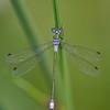 Gewone pantserjuffer; Lestes sponsa; Emerald damselfly; Common spreadwing; Gemeine Binsenjungfer; Leste fiancé