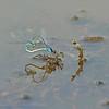 Kleine roodoogjuffer; Erythromma viridulum; Small redeyed damselfly; Kleines Granatauge; Naïade au corps vert