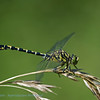 Kleine tanglibel; Onychogomphus forcipatus; Kleine Zangenlibelle; Gomphe à pinces; Small pincertail; Greeneyed hooktailed dragonfly