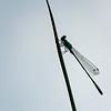 Lantaarntje; Ischnura elegans; Bluetailed damselfly; Große Pechlibelle; Agrion élégant