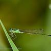 Lantaarntje; Ischnura elegans; Große Pechlibelle; Agrion élégant; Bluetailed damselfly